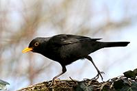 Sortie nature «Chants d'oiseaux», Harchies (B), le 12 mars