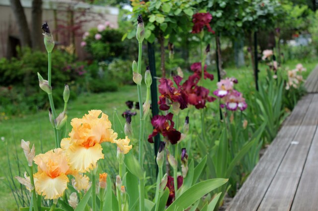 iris 'Viva Mexica', 'Rip city'