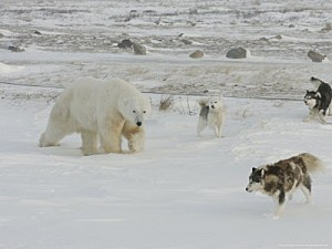 cox-daniel-polar-bear-and-local-sled-dogs-at-cape-churchill