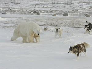 cox-daniel-polar-bear-and-local-sled-dogs-at-cape-churchill