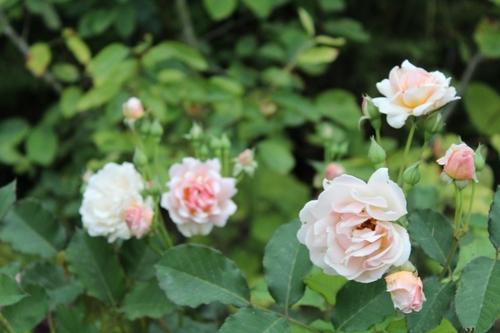 Farandole de roses