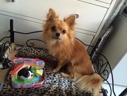 Chubby Puppies Boston Terrier