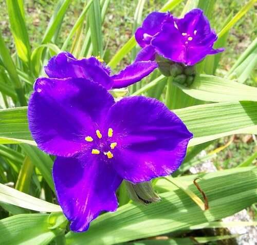 Fleurs cultivées : Ephémère