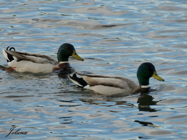 2 canards lac