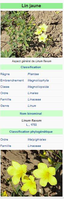 Lin jaune - Linum flavum