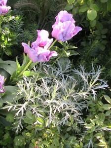 Artemisia ludoviciana Silver Queen