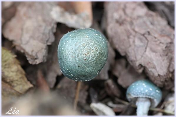 Champignons-6753-strophaire.jpg