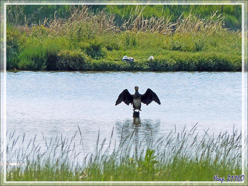 """Le """"sèche-ailes"""" du Grand cormoran - Ars-en-Ré - Ile de Ré - 17"""