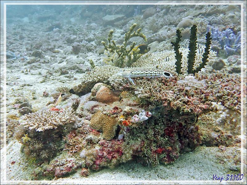 Perche de sable, Parapercis ocellé, Pintade, Perche mouchetée, Speckled sandperch (Parapercis hexophthalma) et son environnement corallien - Beangovo - Tsarabanjina - Mitsio - Madagascar