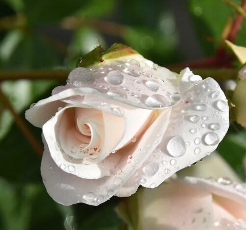 Nos roses...