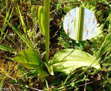 Platanthera bifolia  -  orchis à deux feuilles