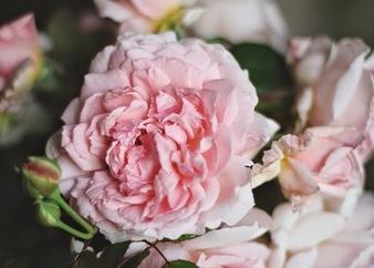 Eglantine - English bush rose
