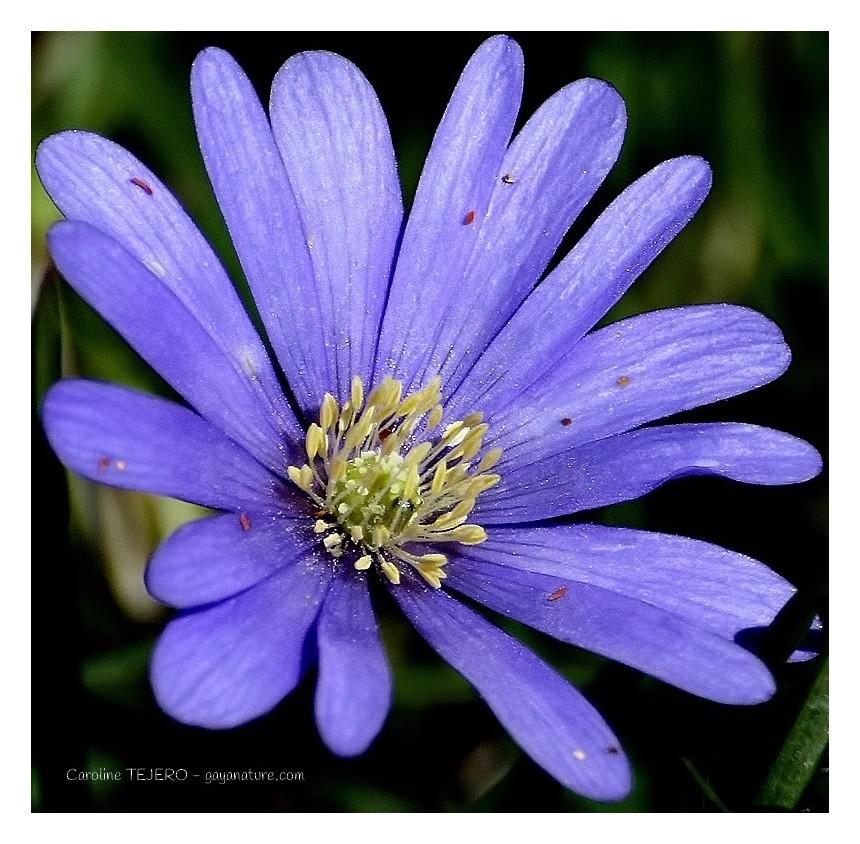 Anémone Blanda Blue Shades