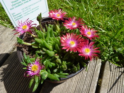 delosperma jewel of the desert garnet