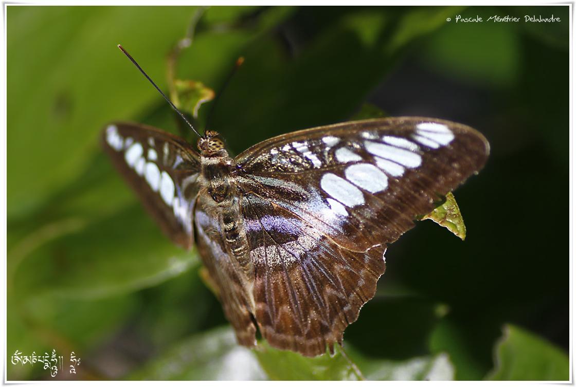 Parthenos sylvia lilacinus - Nymphalidae - Malaisie