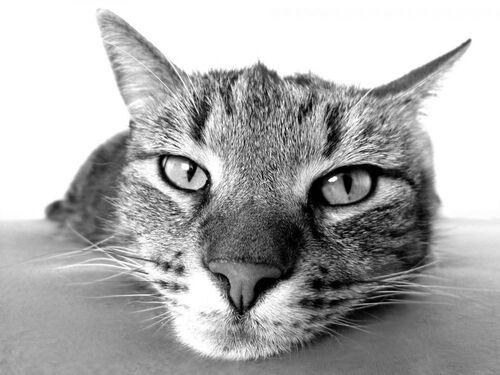 Les chats reconnaissent leur nom