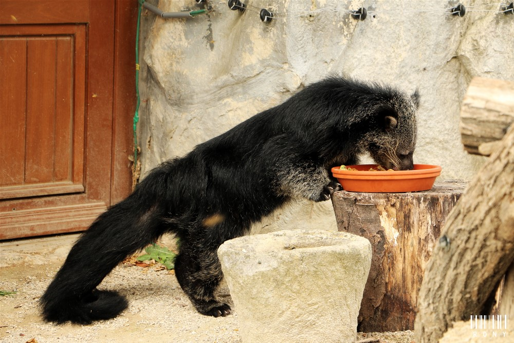 Adorable Binturong :) Part.2