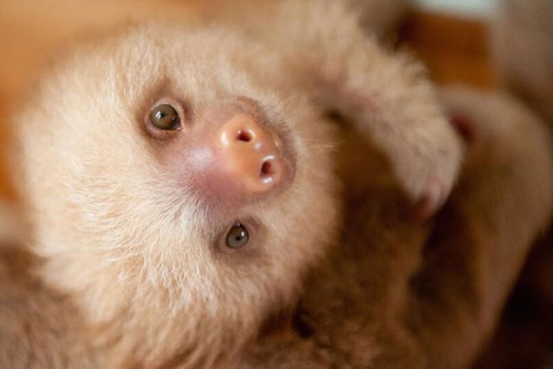 Le plus mignon des Bébés Paresseux a été sauvé au Costa Rica (9)
