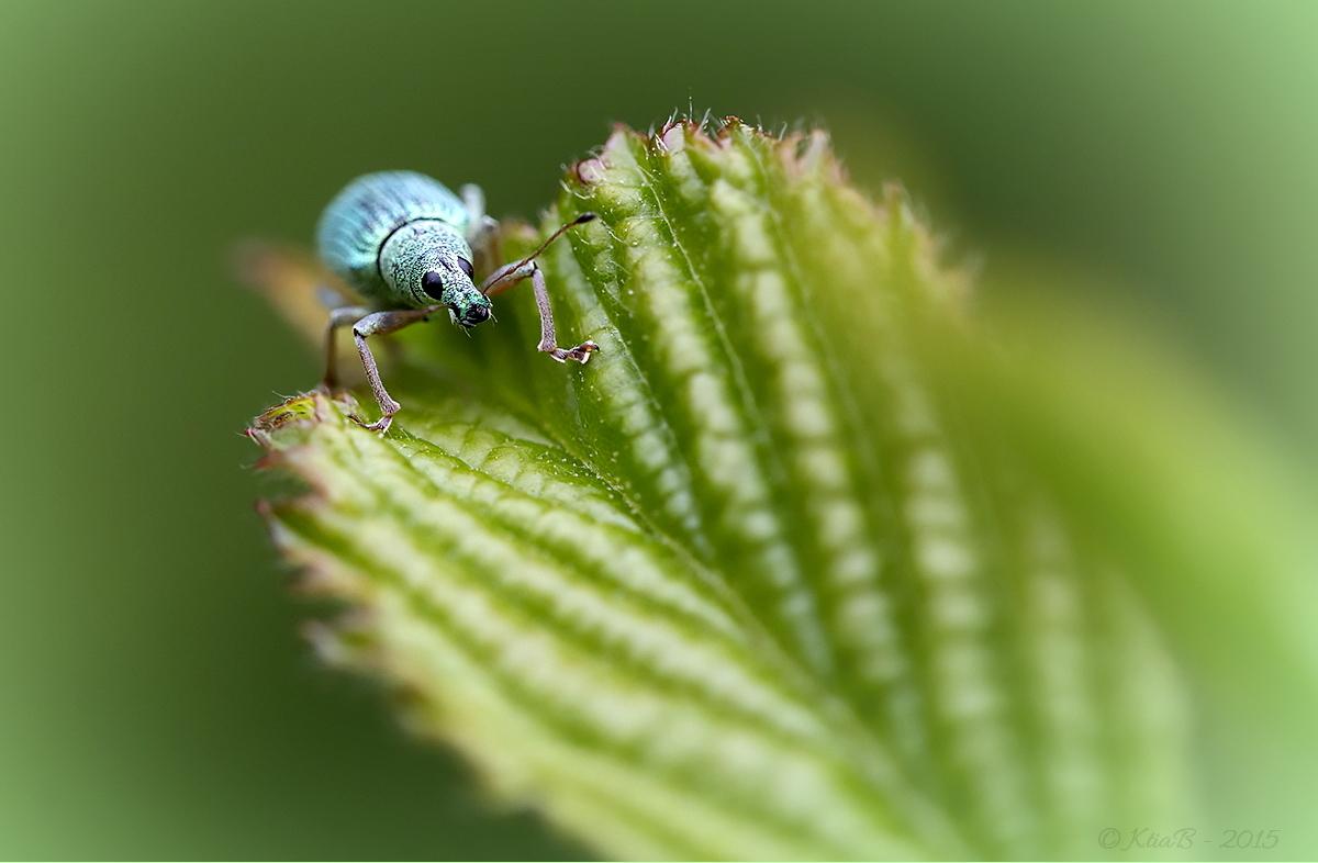 Charançon vert