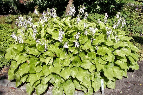 Hosta plantaginea royal standard