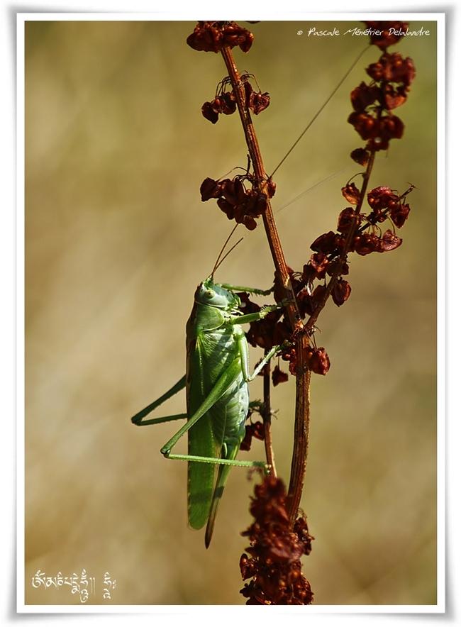 Sauterelle Tettigonia cantans ♀