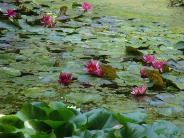Palerme, Jardin botanique, Nénuphars