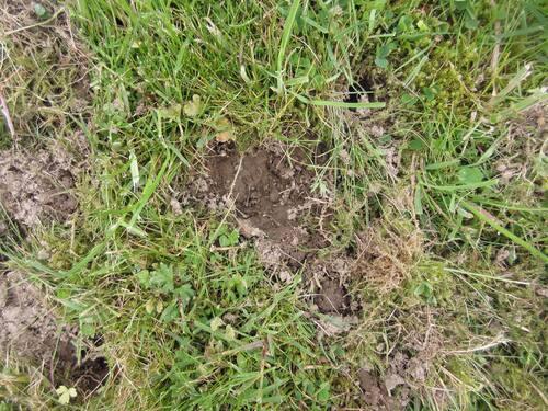 Quels animaux sont venus abîmer ma pelouse ?
