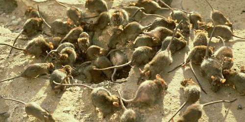 La peste existe toujours et est très meurtrière