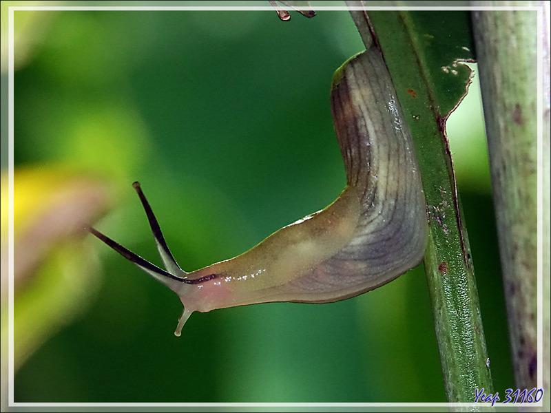 Limace blanche striée, White-striped slug - Nosy Sakatia - Madagascar
