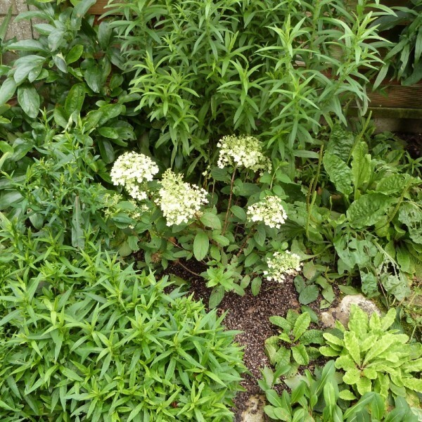hydrangea-bobo-dans-le-massif-des-palmettes---juillet-2014.jpg