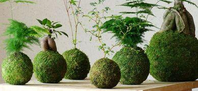 imagen de Kokedama Ficus ginseng | Bonsai | Pinterest ...