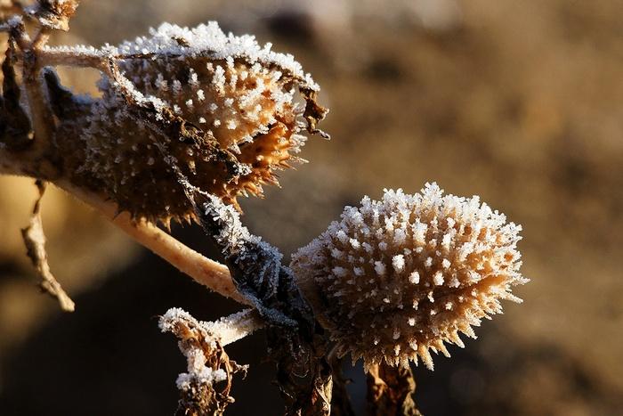 Herbes gelées