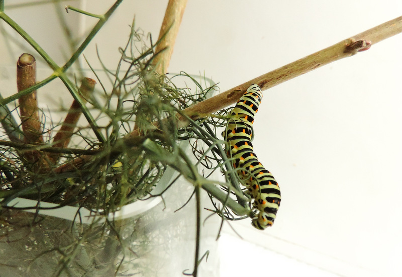 Chenilles de Machaon