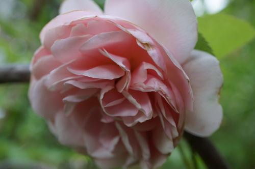 Une Rose précieuse comme l'Amour