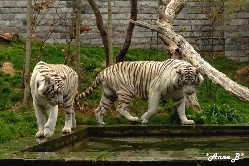 Tigres blanc...un peu d'histoire