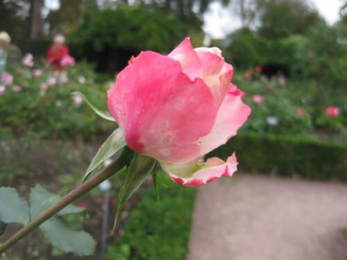 Rose n° 79 chez Jean Pierre