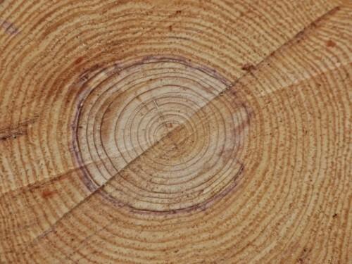 cernes de croissance pin