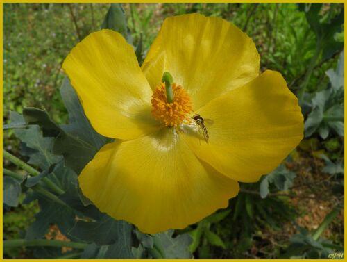 La Glaucière jaune et le Syrphe