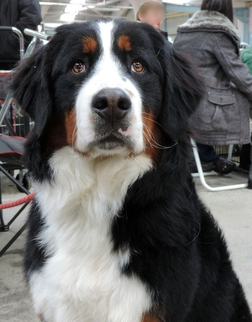 Exposition canine Niort février 2014