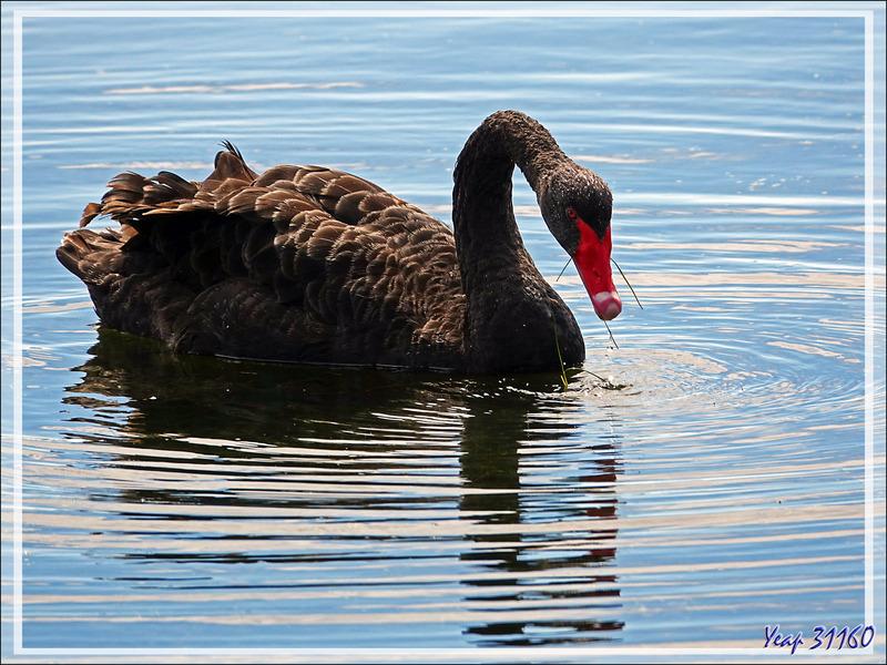 Cygne noir, Black swan (Cygnus atratus) - Ars-en-Ré - Ile de Ré - 17