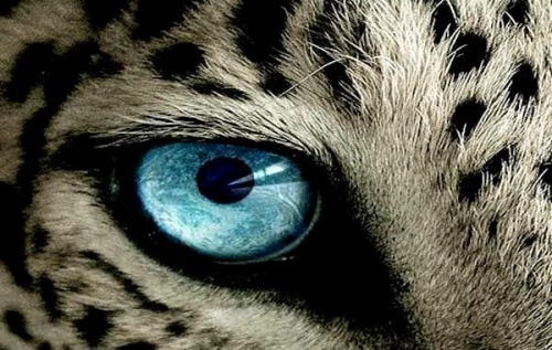 Oeil-tigre-Copy