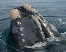 La baleine Australe ~ Moeurs ~