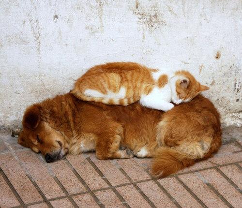Des chats dormant sur des chiens