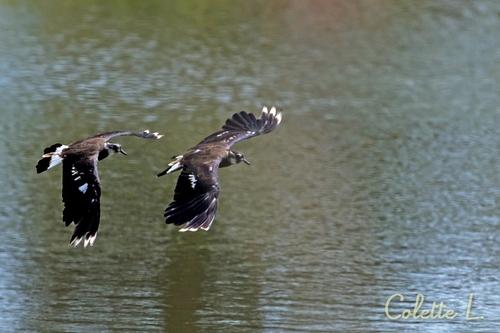 Vole au-dessus d'un étang