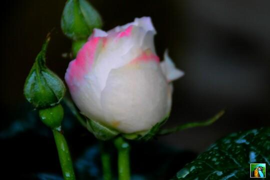 Belles Roses !!!