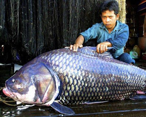 carpe géante du Siam