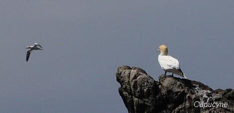 La réserve des 7 îles : les fous de Bassan de l'île Rouzic