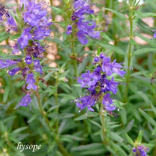 Vertus médicinales des plantes sauvages : Lavande