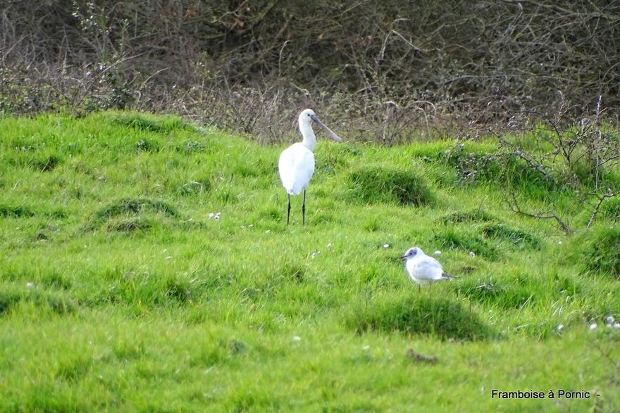 oiseaux Marais de Millac - Bourgneuf en retz - 44 -