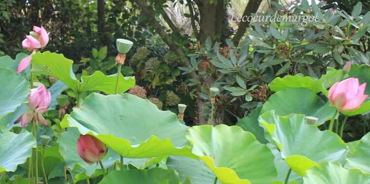 Terra Botanica / Une merveille ces fleurs de lotus !